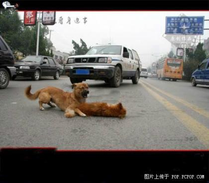 """一小狗遭遇车祸,同伴舍命救助,使尽全力想把小狗拖到路的对面。面对一辆辆呼啸而过的车辆,那只狗并没有一点胆怯的样子,反而全身掩护住小狗的身体。一位市民看了后感叹道:""""这场面真令人感动呀!动物尚且有如此真挚的感情,又怎不让人感到脸红呢?"""".jpg"""