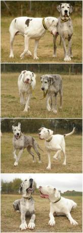 因为一场事故,大丹犬小白的眼睛瞎了,在过去的5年,小灰,另一只大丹犬,就是它的眼睛。 它们俩是分不开的。.jpg